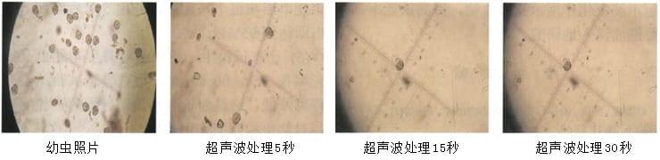 超声波处理幼虫效果